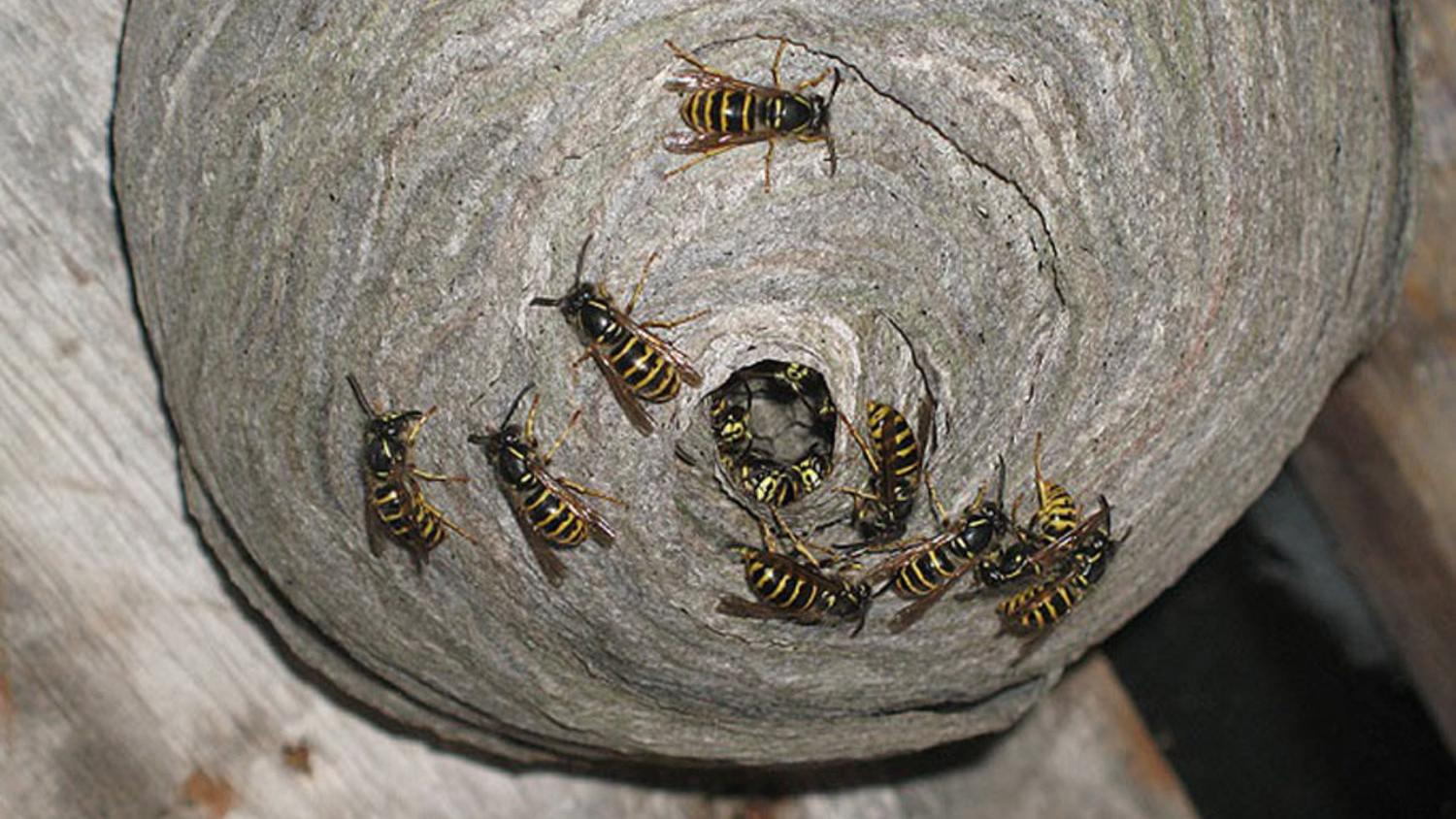 The nests of most true paper wasps are characterized by having open combs with cells for brood rearing and a petiole or constricted stalk that anchors the nest